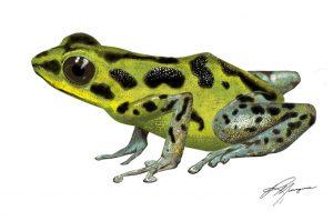 Oophaga pumilio - Chiriqui Grande
