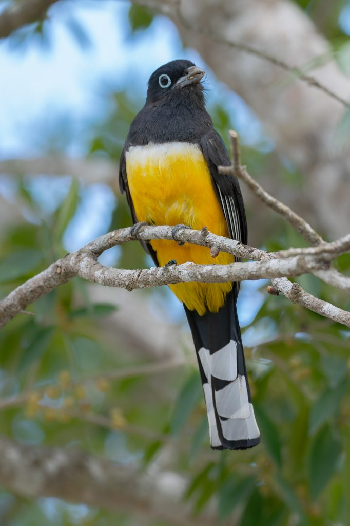 This Black-headed Trogon was snatching fruits from a tree near Cancun, Mexico.