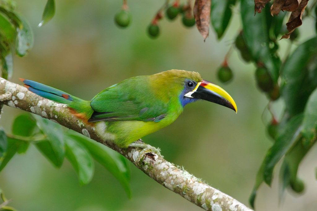 "This Blue-throated Toucanet was foraging for ""aguacatillo"" along the Savegre River. This species is found in the mountain forest of Costa Rica and western Panama."