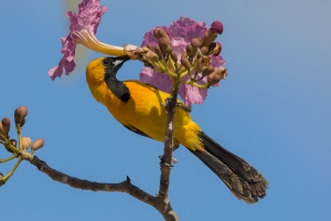 This Hooded-oriole was feeding on nectar from an pink oak near Tulum, Mexico.