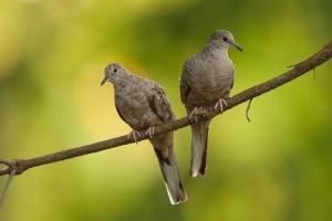 This breeding pair of Inca doves were photographed near Manuel Antonio, Costa Rica.