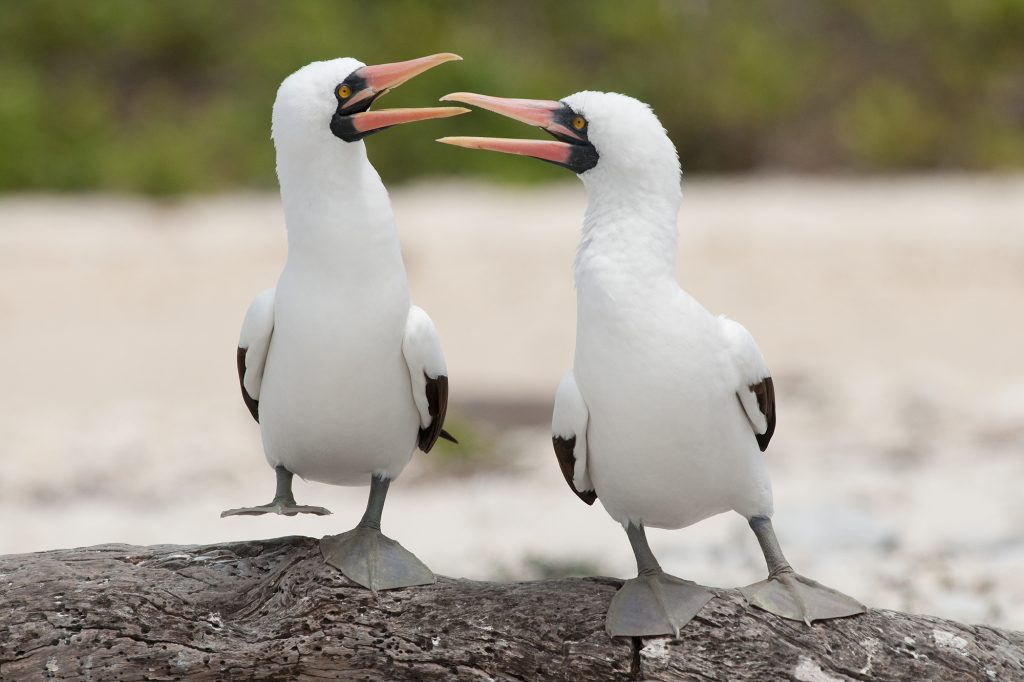 These Nazca Boobies were performing their breeding ritual dance. Genovesa Is. Galapagos.