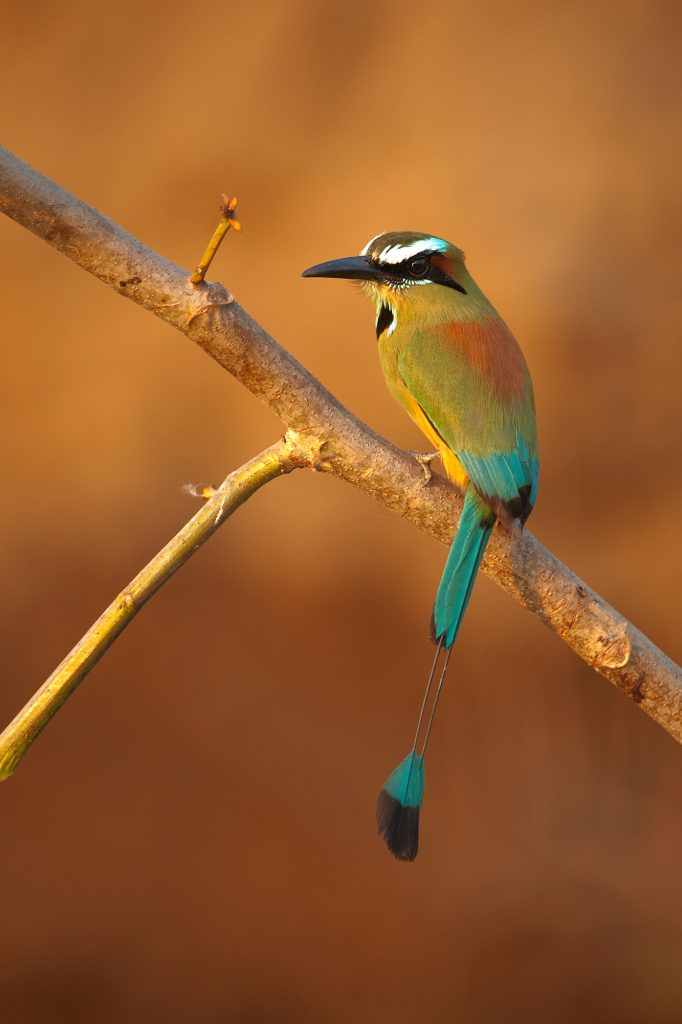 Torquoise-browed motmot are commonly seen nesting on river banks where they dig a nest in the clay. Tarcoles River, Costa Rica.